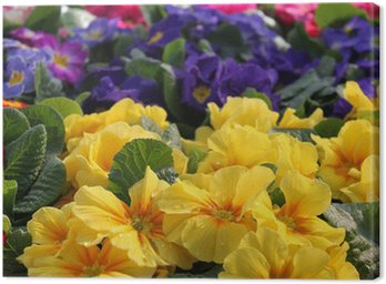 Obraz na Płótnie Primavera Primule