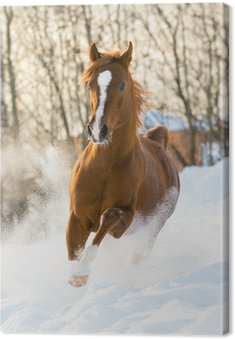 Obraz na Płótnie Red arabian stallion uruchamia galop w śniegu