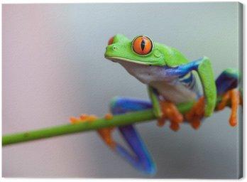 Obraz na Płótnie Red eye frog