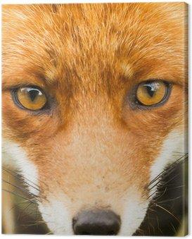 Obraz na Płótnie Red fox bliska