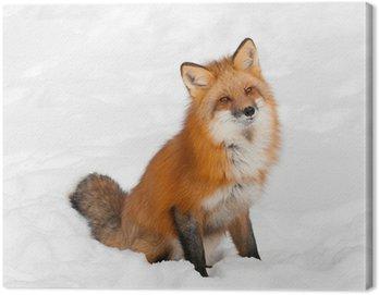 Obraz na Płótnie Red Fox (Vulpes vulpes) siedzi w śniegu z Cocked szefa
