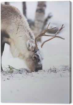 Renifery jedzą trawę w zimowym lesie