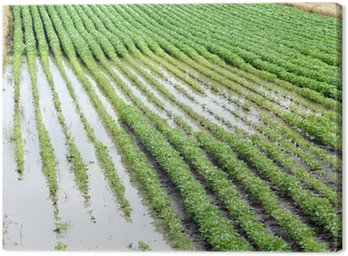 Obraz na Płótnie Rolnictwo, klęska żywiołowa, powódź w polu soi, wiosna