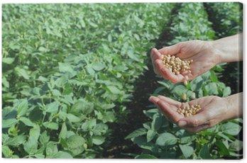 Obraz na Płótnie Rolnicza pojęcie, soja, ręce i pole soi