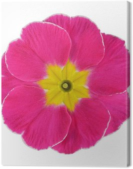 Obraz na Płótnie Różowy i żółty kwiat pierwiosnka izolowane