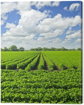 Obraz na Płótnie Rzędy roślin soi w polu