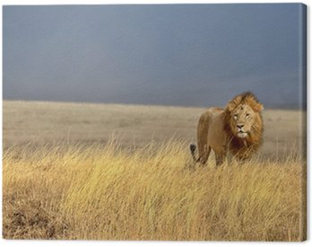 Obraz na Płótnie Samotny lew