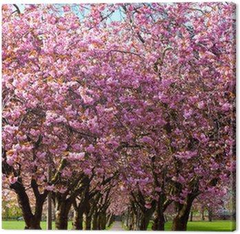 Obraz na Płótnie Ścieżka spacer w otoczeniu kwitnących śliw