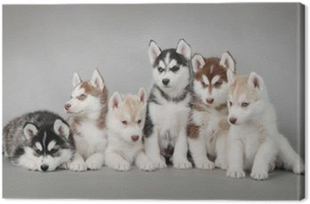 Siberian husky szczeniak