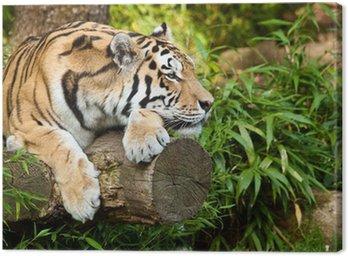 Obraz na Płótnie Sibirischer Tiger (Panthera tigris altaica)