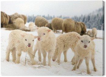 Obraz na Płótnie Skudde jedzenia owiec z baranka na siano