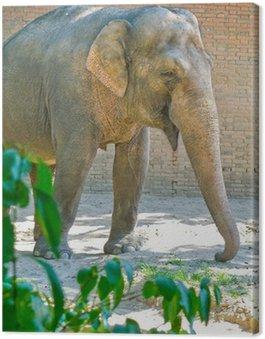 Obraz na Płótnie Słoń indyjski