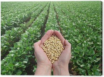 Obraz na Płótnie Soja w ręce z pola soi w tle