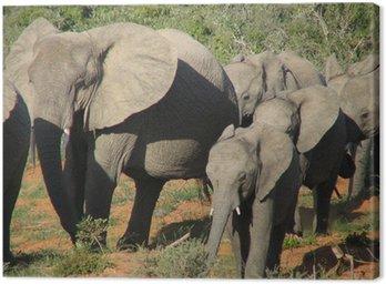 Obraz na Płótnie Spacerem baby elephant