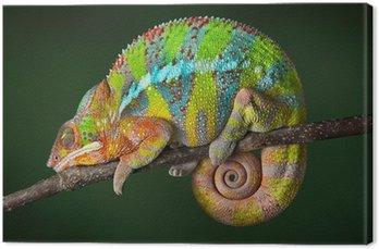Obraz na Płótnie Spanie Chameleon