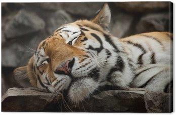 Obraz na Płótnie Spanie Tiger