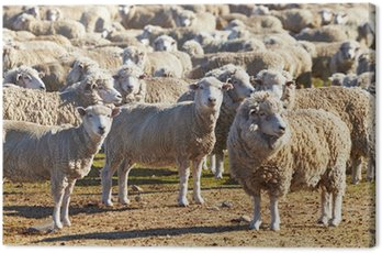 Obraz na Płótnie Stado owiec