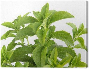 Obraz na Płótnie Stevia rebaudiana, ziele słodzik