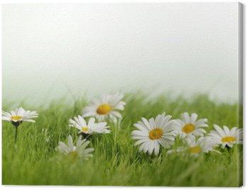 Stokrotki wiosna łąka