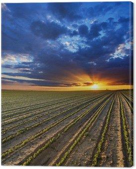 Obraz na Płótnie Surrealistyczne zachód słońca nad rosnących roślin soi w polu ranczo