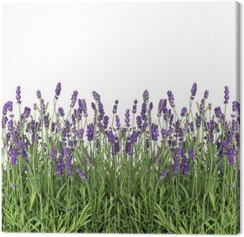 Obraz na Płótnie Świeże kwiaty lawendy samodzielnie na białym tle