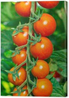 Obraz na Płótnie Świeże pomidory czereśniowe i organiczne w ogrodzie