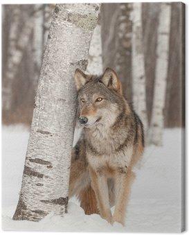 Obraz na Płótnie Szary Wilk (Canis lupus) stoi obok Birch Tree