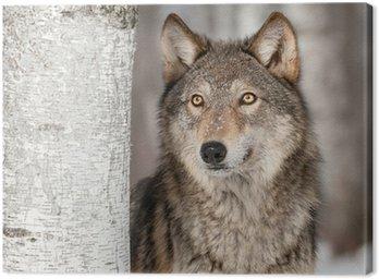 Obraz na Płótnie Szary Wilk (Canis lupus) Wyszukuje