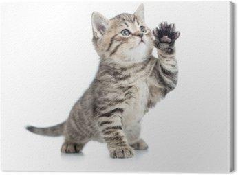 Szkocka pręgowany kotek daje łapę i patrząc w górę