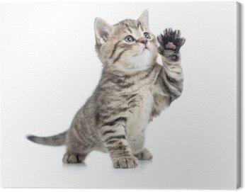 Obraz na Płótnie Szkocka pręgowany kotek daje łapę i patrząc w górę