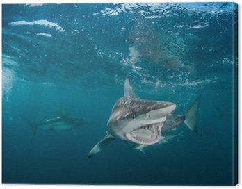 Obraz na Płótnie Tiger Shark z rekinami blacktip
