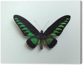 Obraz na Płótnie Tropical Butterfly