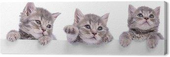 Obraz na Płótnie Trzy szkockie kotek