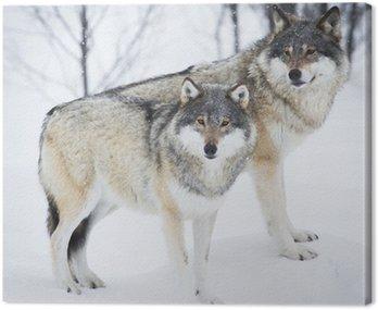 Obraz na Płótnie Trzy Wilki na śniegu