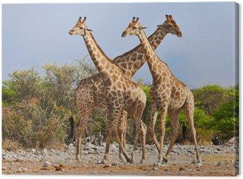 Obraz na Płótnie Trzy żyrafy spaceru w Parku Narodowym Etosha