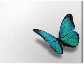 Obraz na Płótnie Turkusowy motyl, na białym tle