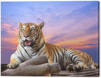 Tygrys szuka coś na skale z piękne niebo o zachodzie słońca