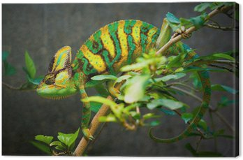 Obraz na Płótnie Ukrytych kameleona