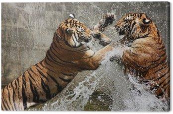 Obraz na Płótnie Walka tygrysa