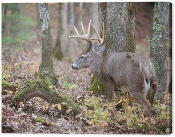 Whitetail buck spaceru w lesie