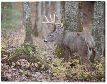 Obraz na Płótnie Whitetail buck spaceru w lesie
