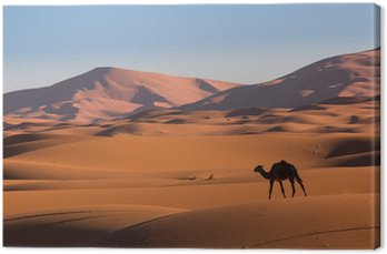 Obraz na Płótnie Wielbłąd na pustyni Sahara, Maroko