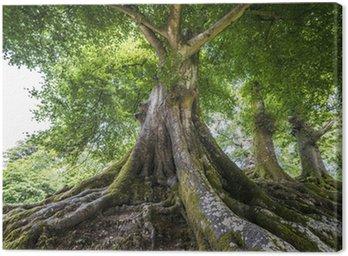 Obraz na Płótnie Wielkie stare drzewo