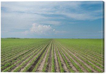 Obraz na Płótnie Wiersze pola soi