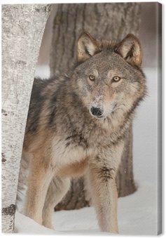 Obraz na Płótnie Wilk (Canis lupus) Peers okolicy Birch Tree