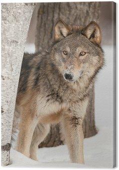 Wilk (Canis lupus) Peers okolicy Birch Tree