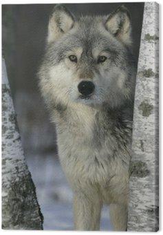 Obraz na Płótnie Wilk, Canis lupus
