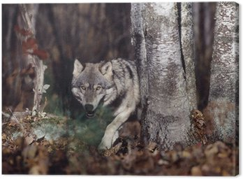 Obraz na Płótnie Wilk w lesie