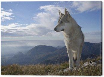 Obraz na Płótnie Wilk wyje