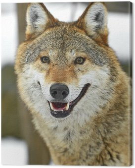 Obraz na Płótnie Wilk